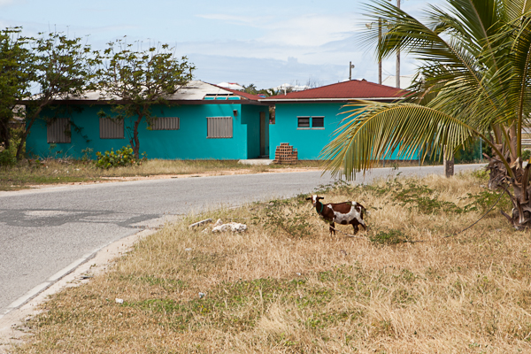 Goats of Anguilla