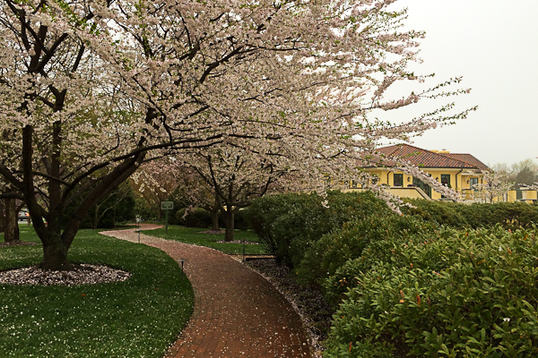 Cherry blossoms at Keswick Hall resort